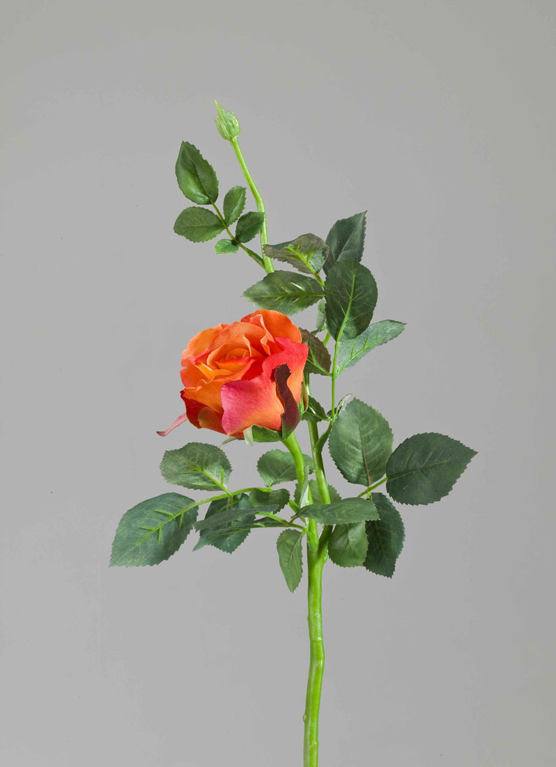 Floribunda Rose Aqua, orange, 25cm